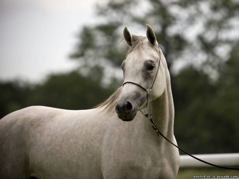 Beautiful White Arabian equine  Horses Ponies amp Donkeys