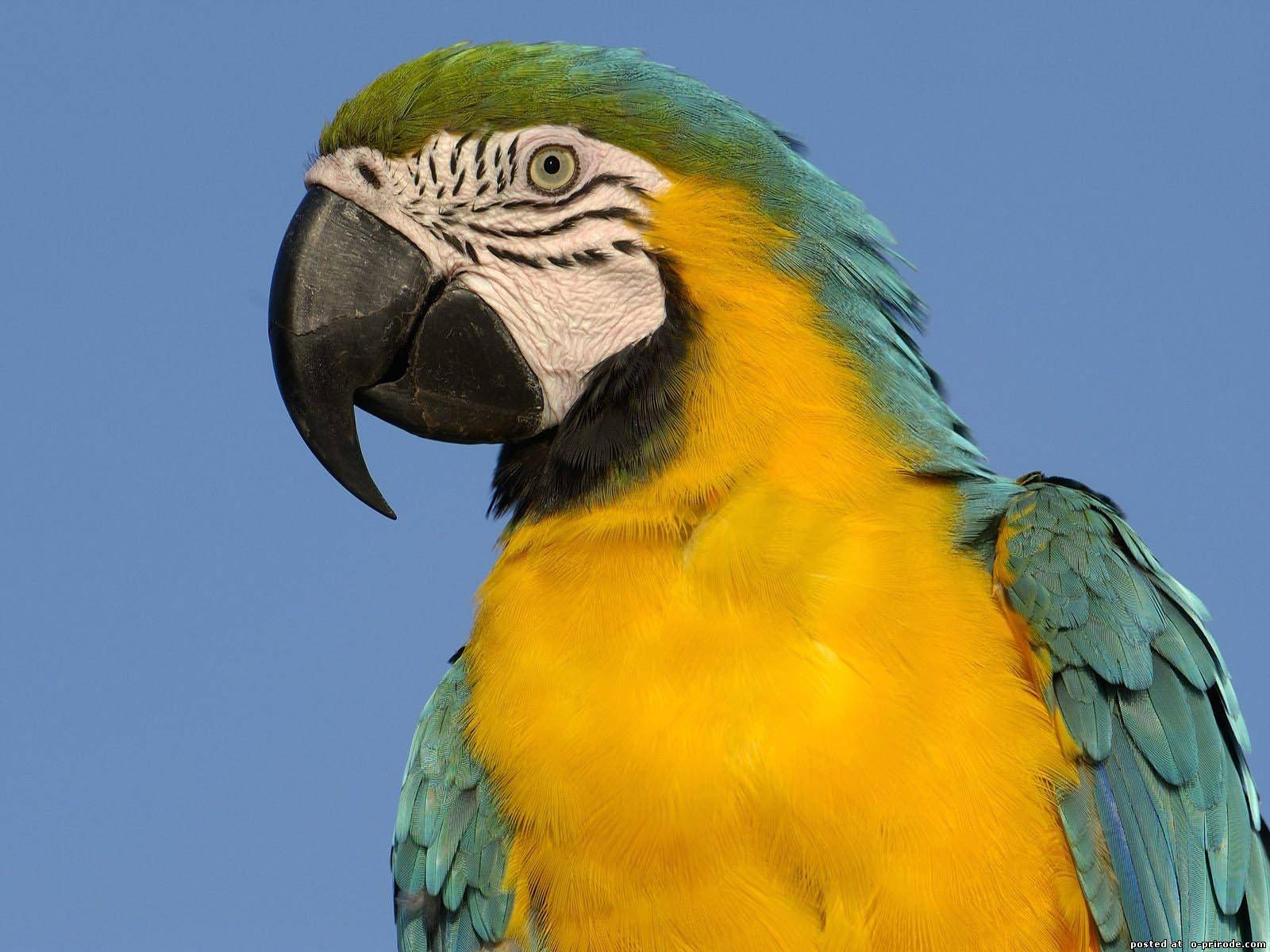 Blueandyellow Macaw Ara ararauna  Parrot Encyclopedia
